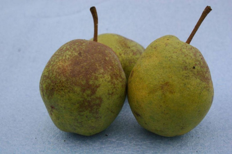 Плоды обычно имеют средние размеры, их вес колеблется от 80 до 100 граммов