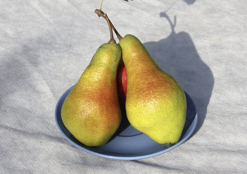 Плоды отличаются привлекательным внешним видом и немалым весом