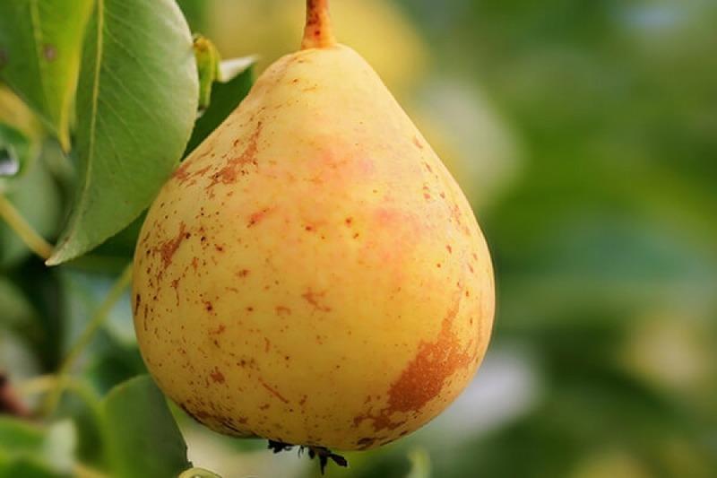 Плоды сладкие на вкус с кислыми нотками