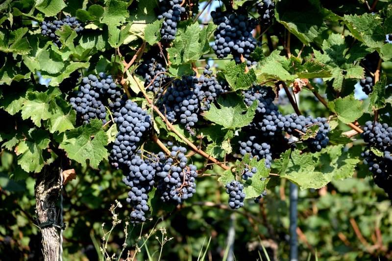 Показатель урожайности сорта составляет 30 килограммов ягод с одного куста