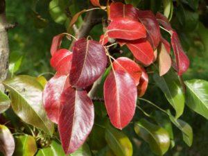 Покраснение листьев указывает на дефицит питательных веществ у растения