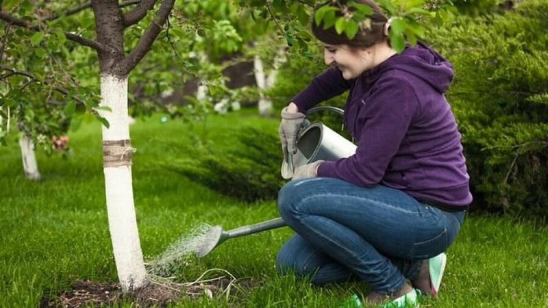 Полив груши – важная часть уходового процесса