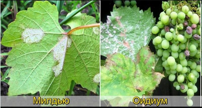 Поражение винограда грибковыми заболеваниями