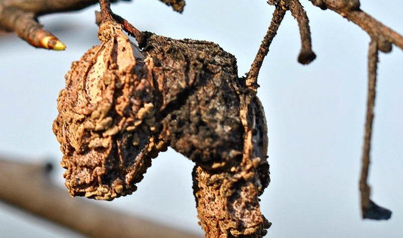 Поражённые монилиозом плоды мумифицируются, а побеги засыхают
