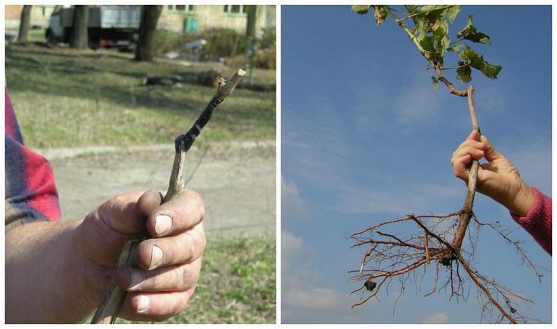 Посадка винограда производится саженцами или черенками