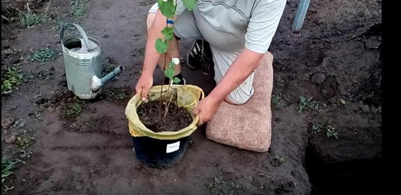 Посадку винограда лучше проводить в апреле