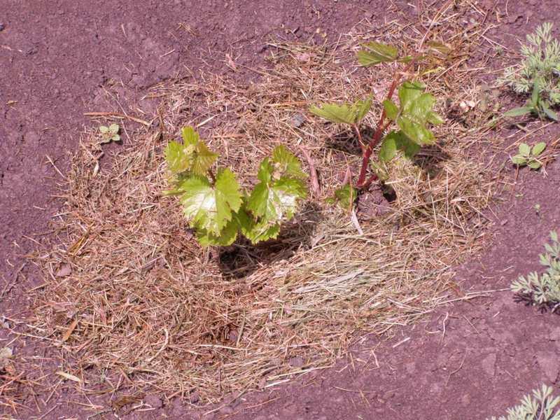 После посадки и полива, почву вокруг саженца мульчируют