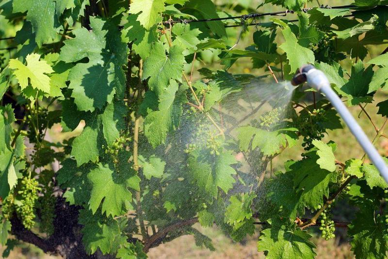 После цветения виноградник обрабатывают фунгицидными препаратами