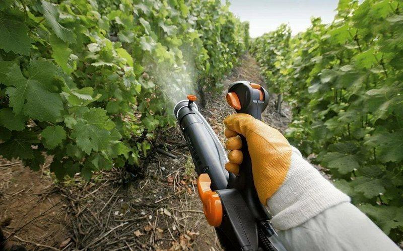 После зимы следует обработать виноград фунгицидами от вредителей и болезней