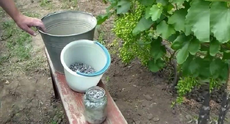 Потребность винограда в удобрениях можно определить по его внешнему виду