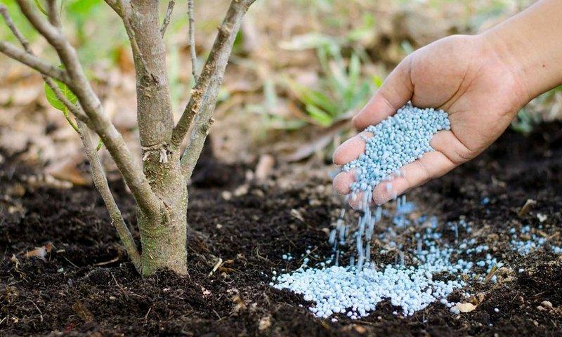 Правильная подкормка груши обеспечит хороший рост, крепкий иммунитет и обильное плодоношение деревьев