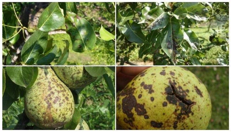 При поражении плодов паршой на них появляются черные пятна и трещины