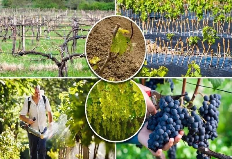 При правильном уходе за виноградом можно получить богатый урожай высокого качества
