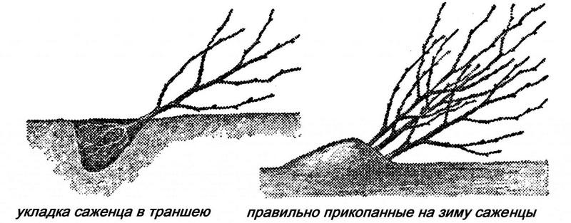 Прикопка саженцев необходима для защиты корневой системы дерева от вымерзания