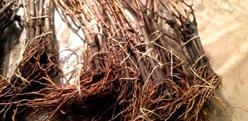 Приобретая саженцы, необходимо обратить внимание на состояние их корневой системы