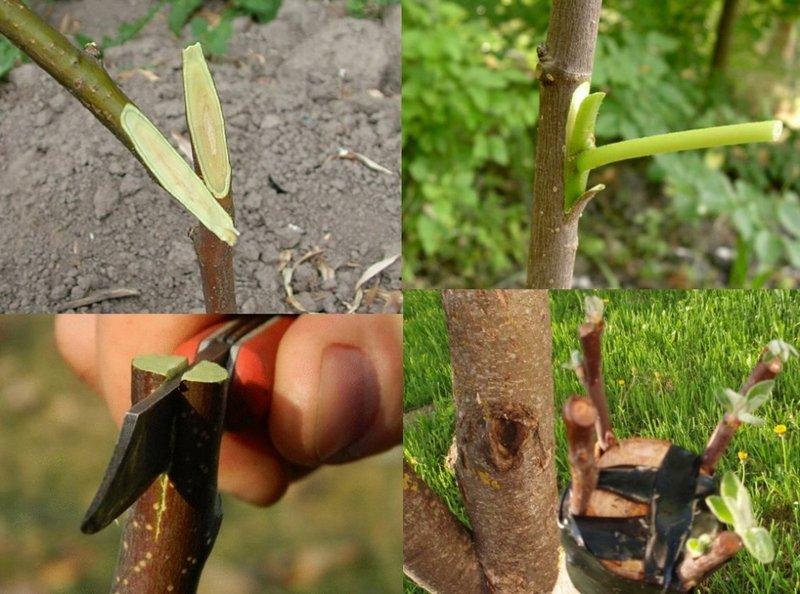 Привание ветки к другому растению