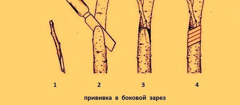 Прививка черенком в боковой разрез