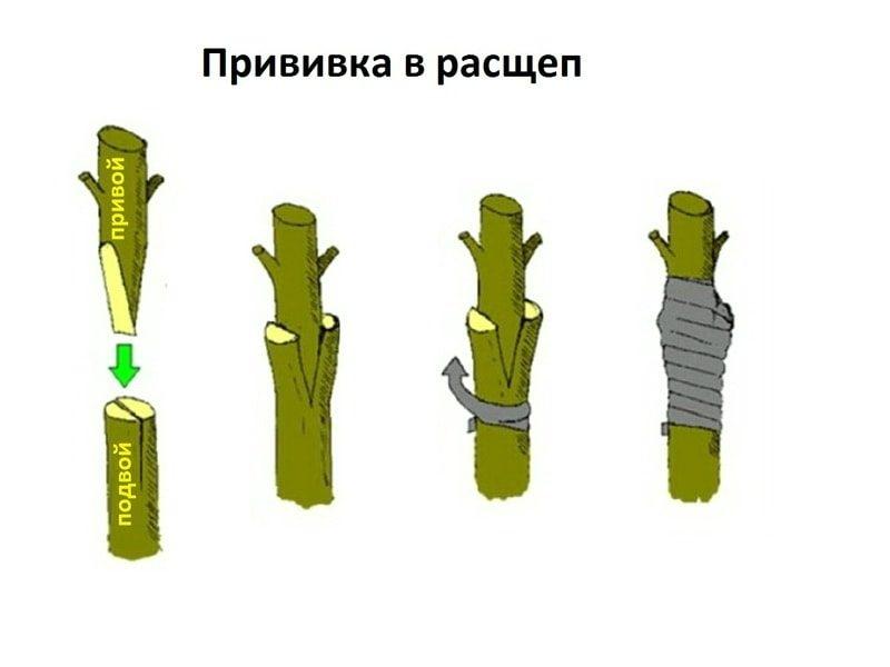 Прививка черенков в расщеп
