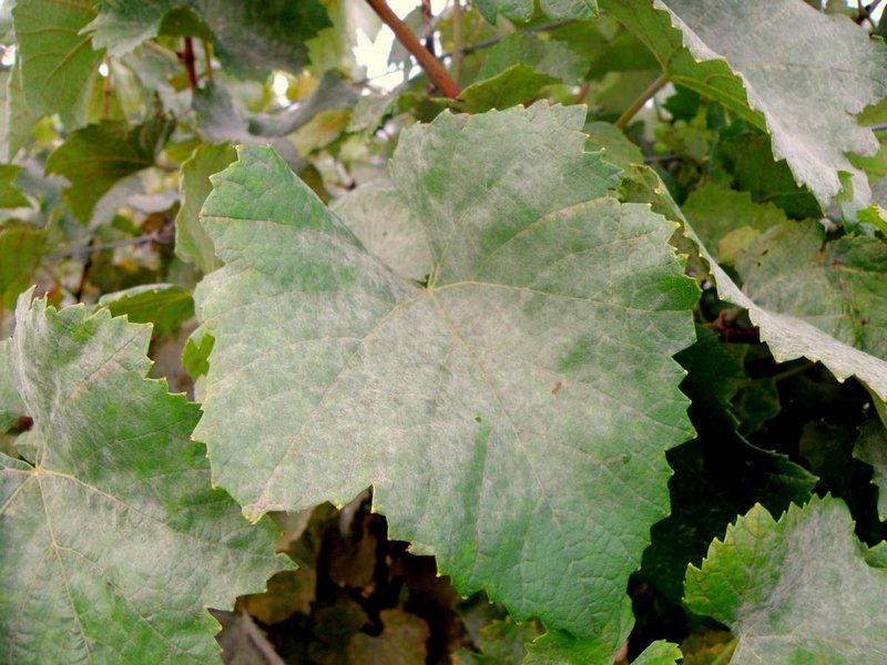Признак поражения винограда оидиумом - белый налет на листьях