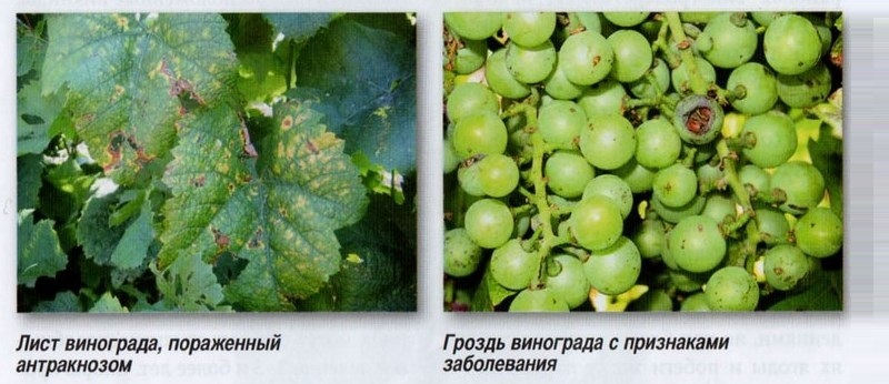 Признаки антракноза винограда