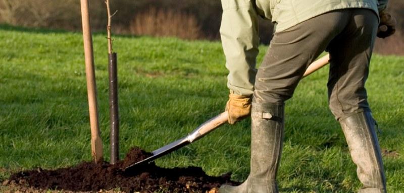 Производить посадку саженцев груши можно как весной, так и осенью
