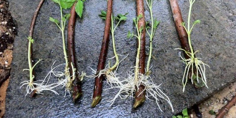 Проращивание корней у черенка