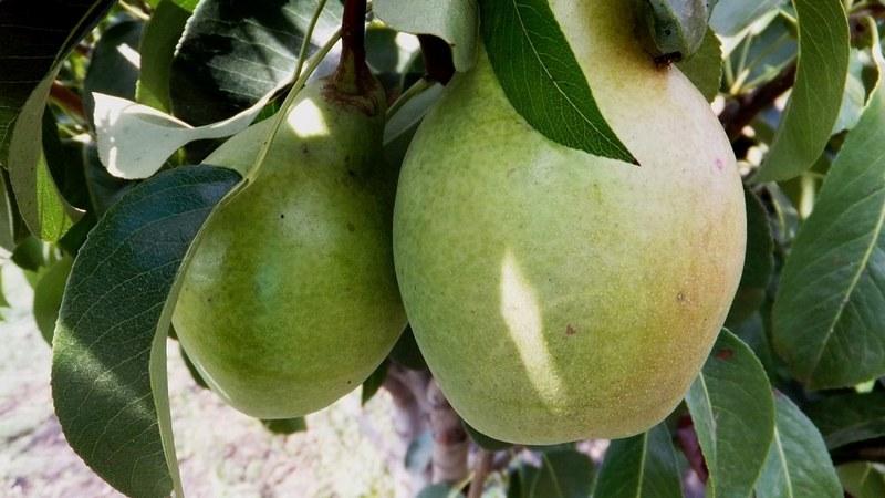 Просто Мария - гибридный сорт груш, выведенный в Белорусском НИИ плодоводства