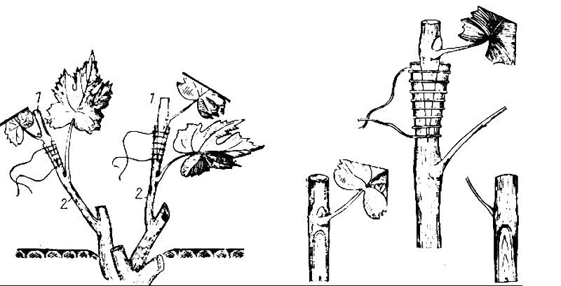 Схема размножения винограда подвоем