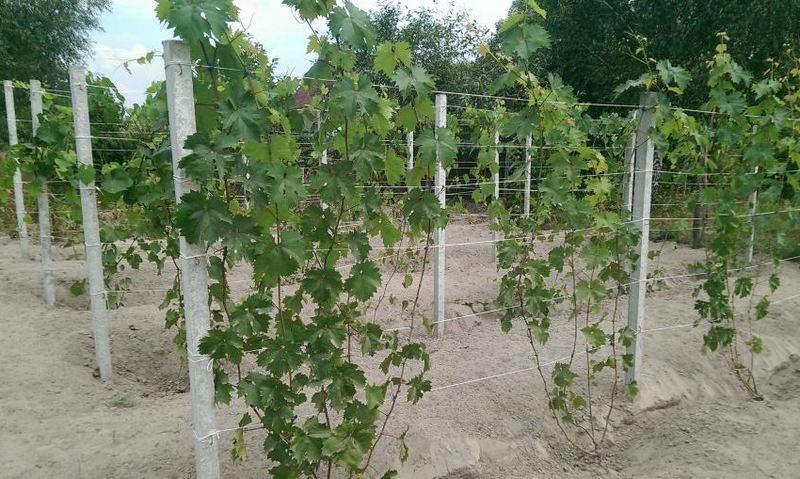 Расстояние между лозами винограда должно составлять 1,3-2 м