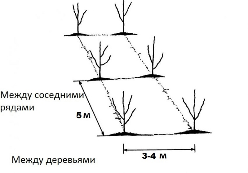 Расстояние между плодовыми деревьями в саду