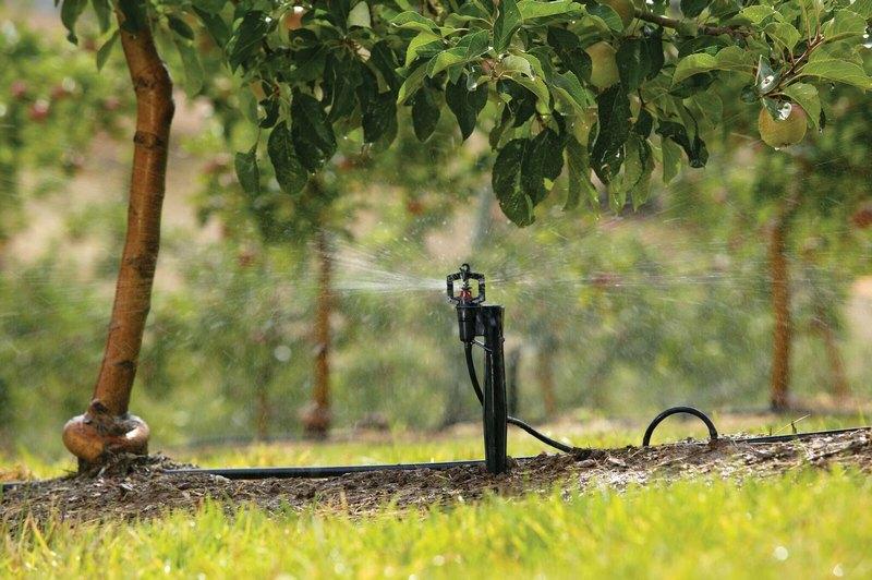 Рекомедуется орошать дерево методом дождевания
