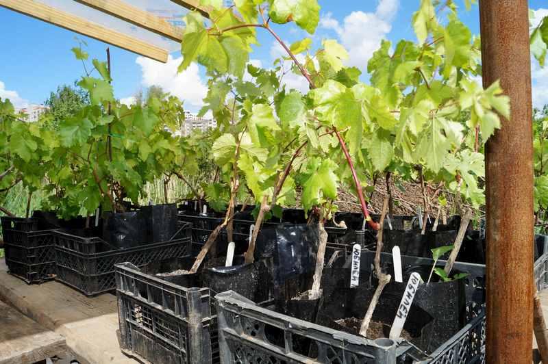Рекомендуется приобретать саженцы только в проверенных питомниках и садовых центрах