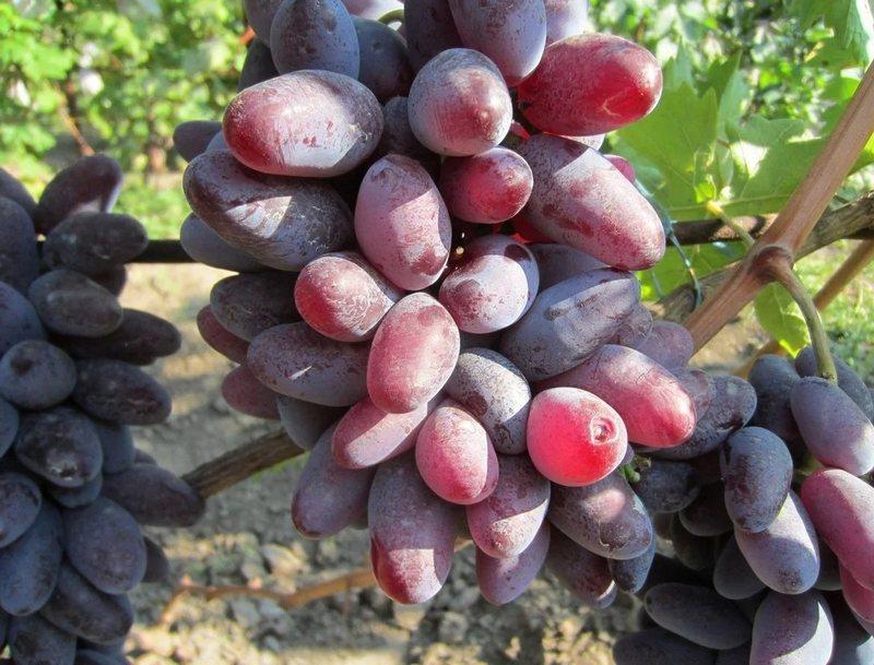 С момента распускания почек до зрелости плодов проходит 115 дней