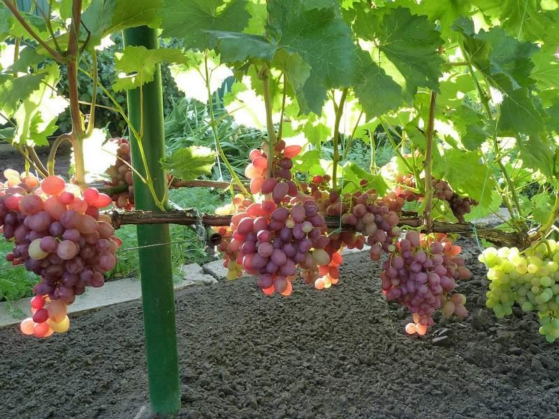 С момента вегетации до начала сбора ягод проходит около 135-150 дней