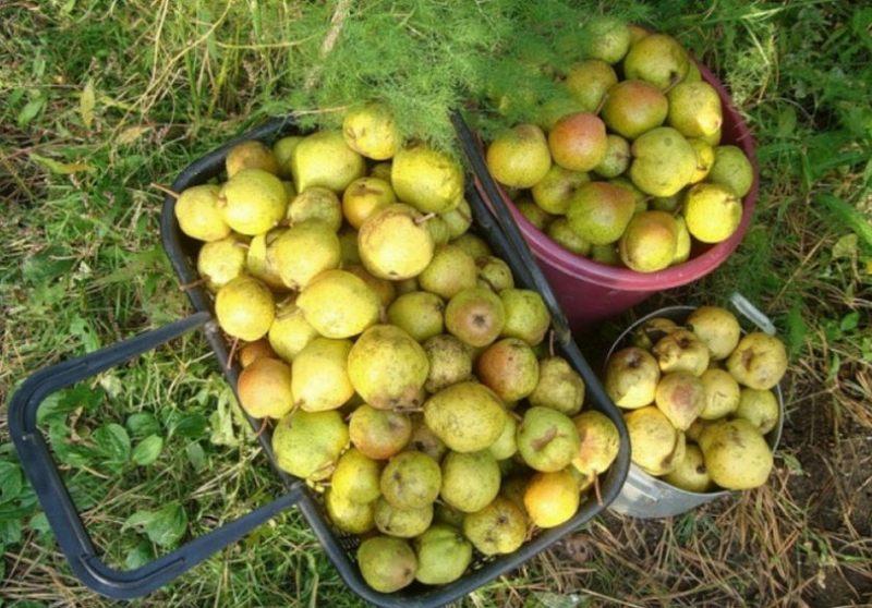С одного дерева можно собрать 50-70 килограмм груш