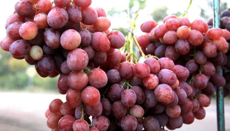 С одного взрослого куста можно собрать от 6 до 10 килограммов ягод