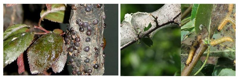 Щитовки и гусеницы на груше