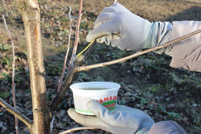 Садовый вар используют для обработки срезов и залечивания ран на деревьях после обрезки