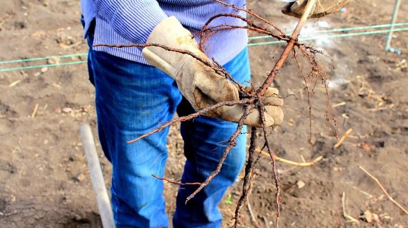 Саженец винограда должен быть полностью здоровым, без признаков болезней и поражения вредителями