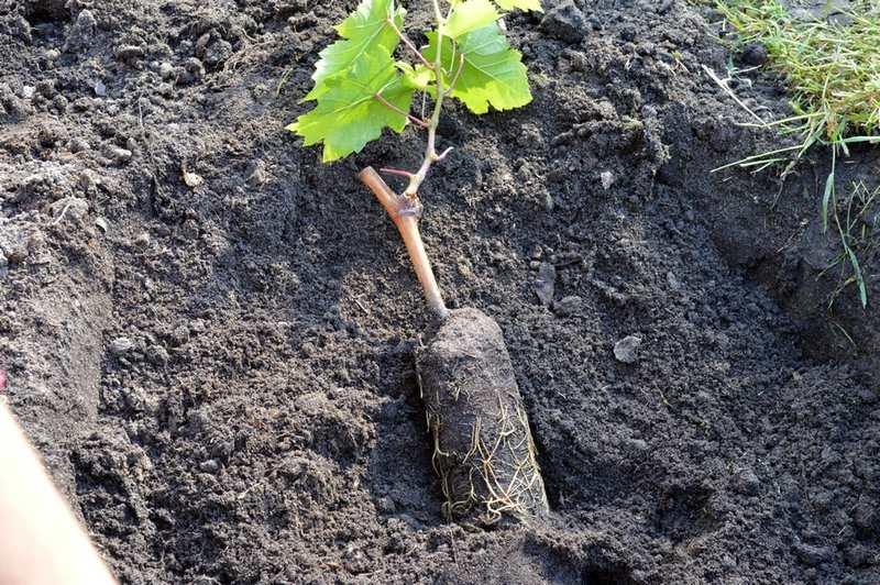 Саженцы Гелиоса хорошо приживутся в лёгкой, плодородной почве, прогретой до +10+12 ºС