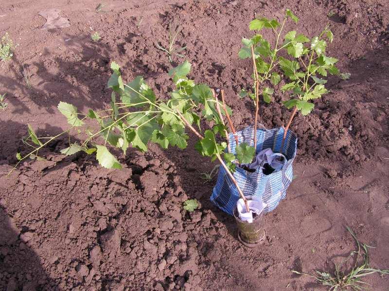 Саженцы с закрытой корневой системой можно сажать в течение всего вегетационного периода