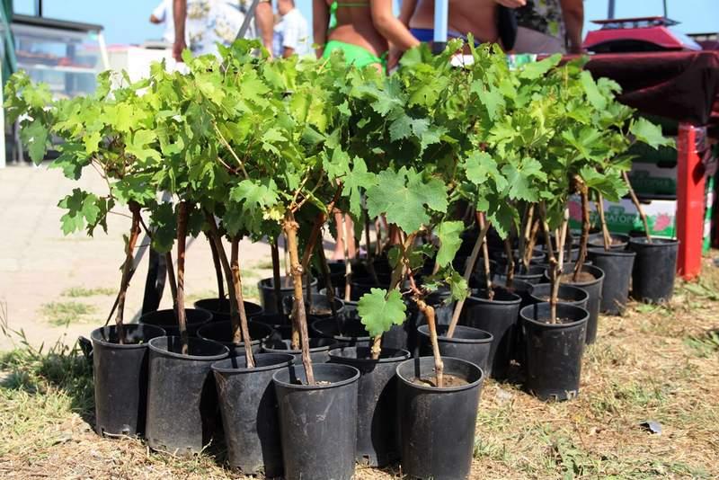 Саженцы винограда следует приобретать только у проверенных поставщиков