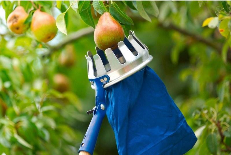 Сбор спелых фруктов с верхних веток осуществляют с помощью плодосъемника