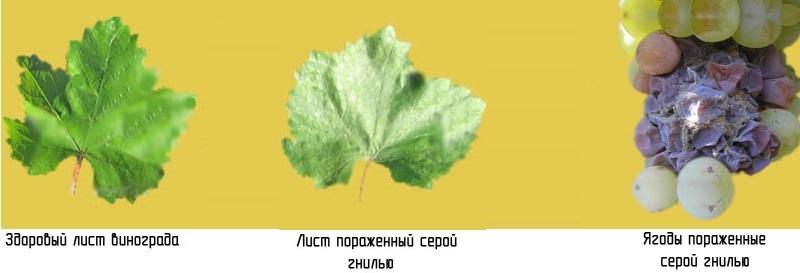Серая гниль на листьях винограда