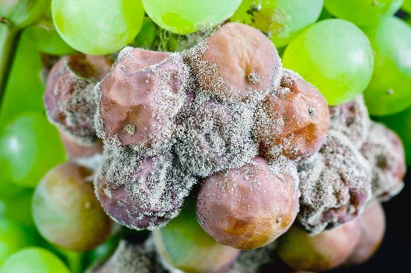 Серая гниль поражает плоды на кустах при обильных росах или в дождливую погоду