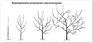 Схема формирования разреженно-ярусной формировки кроны