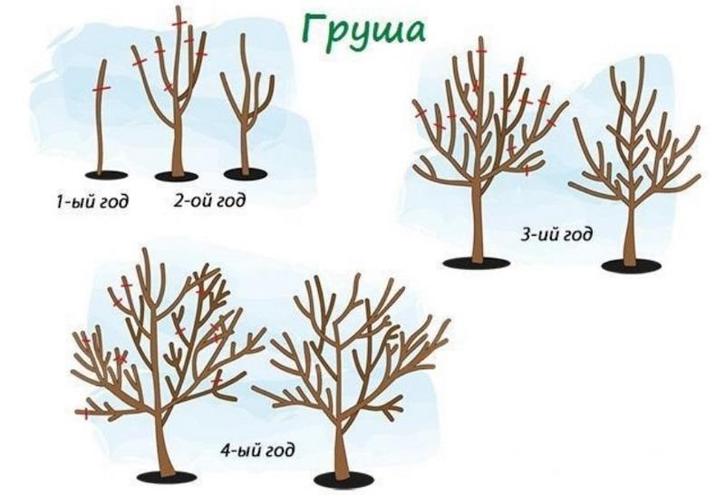 Схема обрезки груши для правильного роста и высокой урожайности