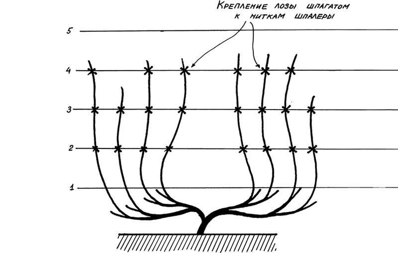 Схема подвязки винограда к опоре