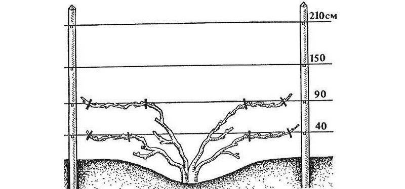 Схема подвязки винограда к шпалере
