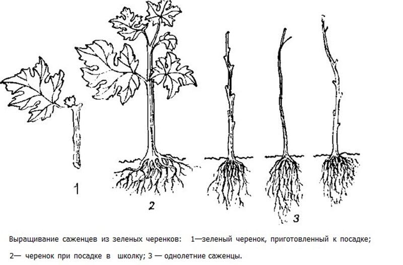 Схема посадки черенков винограда